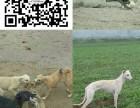 南充格力犬价格 格力犬多少钱一只 格力犬好养吗