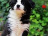 上海 純種邊境牧羊犬 疫苗齊全出售中 可簽協議健康保障