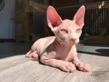 随州专业繁育纯种布偶猫 女神必备 甜美可爱