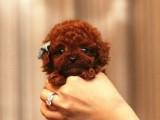 佛山养狗场出售多种宠物狗 纯种泰迪犬多少钱一只 多窝挑选