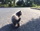 蓝猫求收养 可小刀