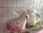 出白斑鸠种一对 4只青年 手养朱劲 山斑鸠