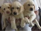 本地正规犬舍繁殖 出售拉布拉多 包售后