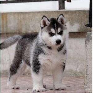 宠物狗哈士奇犬哈士奇幼犬活体蓝眼三火哈士奇狗狗纯种哈士奇幼崽