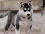 重庆本地低价出售各类狗狗三十多个品种热卖中送用品一签协议保障