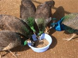 赤峰观赏蓝孔雀 脱温孔雀幼苗 鑫亚珍禽养殖场