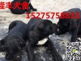 三明卡斯罗幼犬价格,出售纯种卡斯罗犬