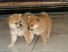 哪里有卖纯种双血统柴犬纯种的长什么样子