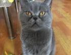 纯种英短 蓝猫 成母