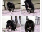 本地犬舍出售纯种高加索犬 双血统带证书