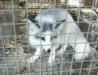 宠物狐狸熊猫狐狸多少钱一只