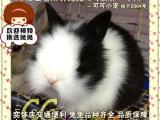 北京优质种兔 商品兔 道奇兔、垂耳兔、狮子兔、侏儒兔、猫猫兔