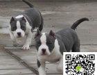 一条比特犬幼犬多少钱 比特犬幼犬狗图片