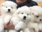 家养纯种萨摩宝宝一窝免费送给好新爱狗人免费领养