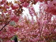 万隆旅行社大连樱花一日游