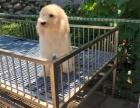 巨型贵宾犬多少钱一只 哪里有巨型贵宾犬 苏州出售巨型贵宾犬