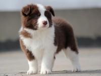 边牧犬什么价位 广州纯种边牧哪里买好 广州宠物狗边牧犬出售