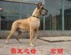 cku注册五星级犬舍 双血统大丹犬可上门挑选