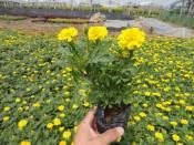 孔雀草桔红色培育基地,批发价格,种植基地来看卓益