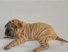 新年特惠高品质沙皮狗幼犬 血统纯正 体型完美 健康纯种
