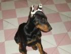 正规犬舍专业繁殖杜高犬 犬舍直销血统健康均有保障