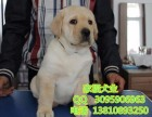 北京哪卖拉布拉多犬 超大骨架拉布拉多 赛级拉布拉多 多窝可选