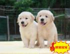 精品金毛幼犬纯种赛级的金毛骨架大毛量足保纯保健