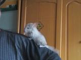 2个月左右米色小龙猫出售