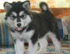 常年销售 精品纯种阿拉斯犬 当面测试 顾客安全放心