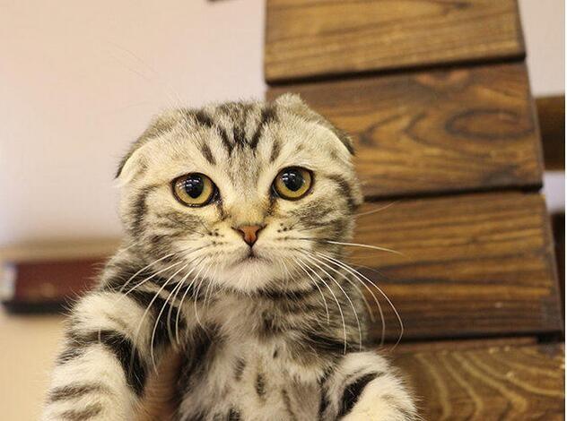 新乡哪里卖的折耳猫比较便宜 新乡哪里能买到便宜折耳猫