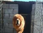 青海牧区下来的小藏獒,武警大院养的,换马犬