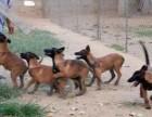 张家界哪里有卖马犬的?张家界马犬价格 成年马犬价格