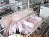 一代太湖母猪批发,梅山母猪报价,二花脸太