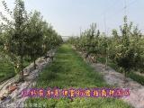 乔化秦脆苹果苗种植要求苹果苗供应基地