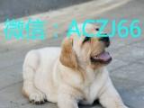 专业的繁殖狗场常年直销高品质拉布拉多犬 品质健康有保障
