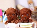 兰州泰迪犬多少钱一只 兰州哪里有卖纯种泰迪犬价格多少