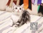 桂林出售美短幼猫自家猫舍种猫繁殖保证血统纯正