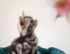 梦宠宠物中心出售纯种美短银渐层英短