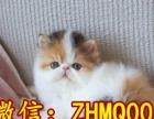 可爱性格温顺纯种加菲猫宝宝找新家 包子脸加菲猫