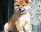 日本柴犬出售高品质柴犬幼犬可上门挑选可签订购犬合