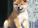 精品柴犬幼犬出售,专业繁殖,纯种健康,签订协议