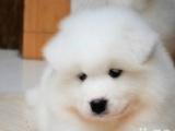 雪白的小萨摩耶幼犬是很聪明,小狗也很乖巧的,自己养大