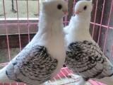 雞西品相極好的元寶鴿 圓環鴿 摩登鴿 可視頻挑選