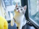 纯种美国短毛猫虎斑标斑起司加白美短猫咪