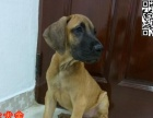佛山哪里有大丹犬买 大丹犬的饲养方法是什么