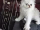 金吉拉猫猫找新家