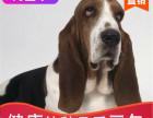 本地出售纯种巴吉度幼犬,十年信誉有保障