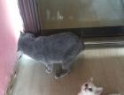 南京较受欢迎的猫舍《英短渐层》超白、签协议包健康