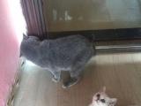南京最受欢迎的猫舍《英短渐层》超白、签协议包健康
