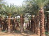 中东海枣(银海枣)杆高5-6米,质优价低,福建基地直销